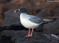 gullswallowtailed011815galapagos2.jpg