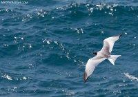 gullswallowtailed011215galapagos10.jpg