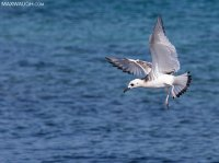 gullswallowtailed011215galapagos6.jpg