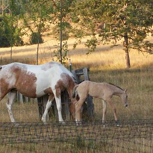 Baby Buckskin and mom