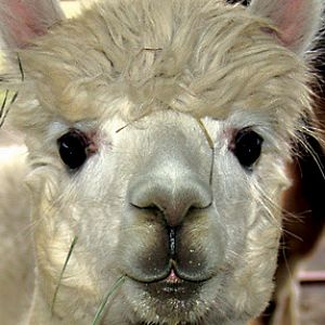 Alisia the Alpaca