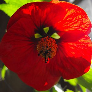 """Flowering Maple"" Abutilon Hybridium"