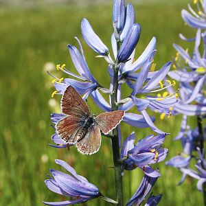 Butterfly on Blue Camas Blossom