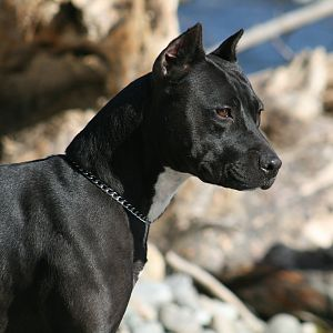 Caragan's Black Passion APBT