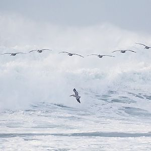 Brown Pelicans cruising the waves