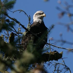 A Eagle Overlooks the Cowlitz Valley