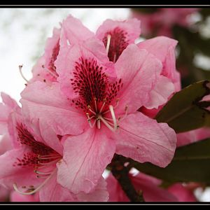 Another Pink Rhodie