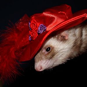 Ferret Portraits