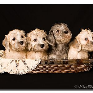 Dandie Dinmont Terrier Puppies