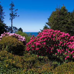 Oregon Rhodies