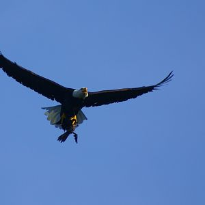 Bald eagle with cormorant in Talons