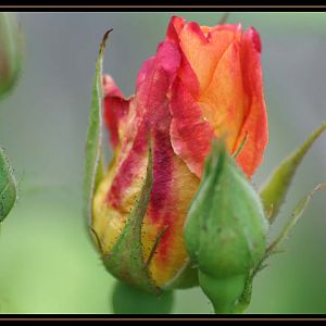 Rose Buds and Bloom