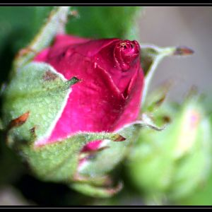 Beautiful Red Rose Bud