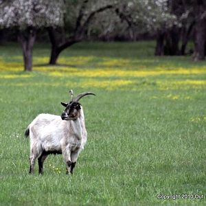 Goat in Spring Meadow