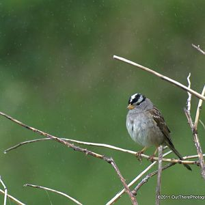 White Crowned Sparrow in Misty Rain