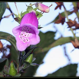 Fox Glove And My Ant