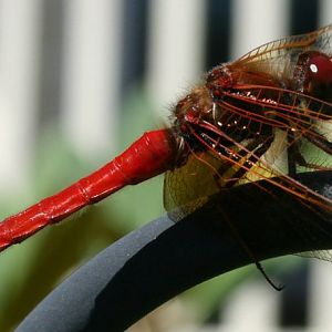 Our Red Dragonfly