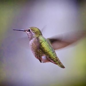A Winter's Hummingbird