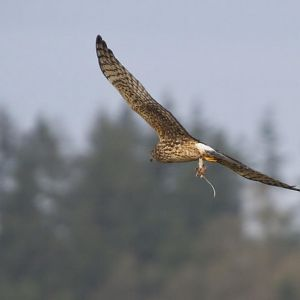 Fast Food, a Northern Harrier and a Rodent Snack