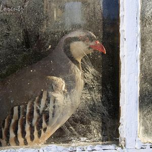 Chukar looking out of a window