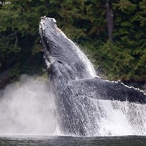 Humpback Breach
