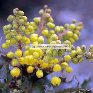 State Flower Oregon Grape