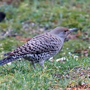 Female Northern Flicker, Red-shafted, (Colaptes auratus cafer)
