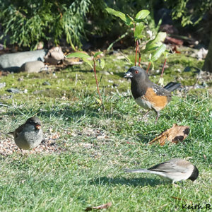 Back to Front: Spotted Towhee, House Sparrow, Dark-eyed Junco