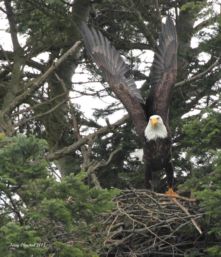 2-20-2013 mom eagle at nest_0726c2.JPG