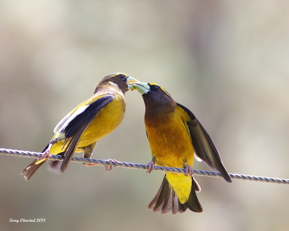 5-26-2018 evening grosbeak pair plain_6029.JPG