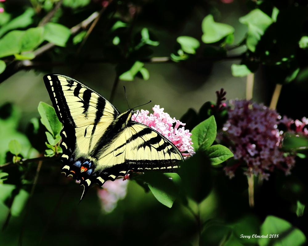 5-26-2018  swallowtail and lilac plain_6081.JPG