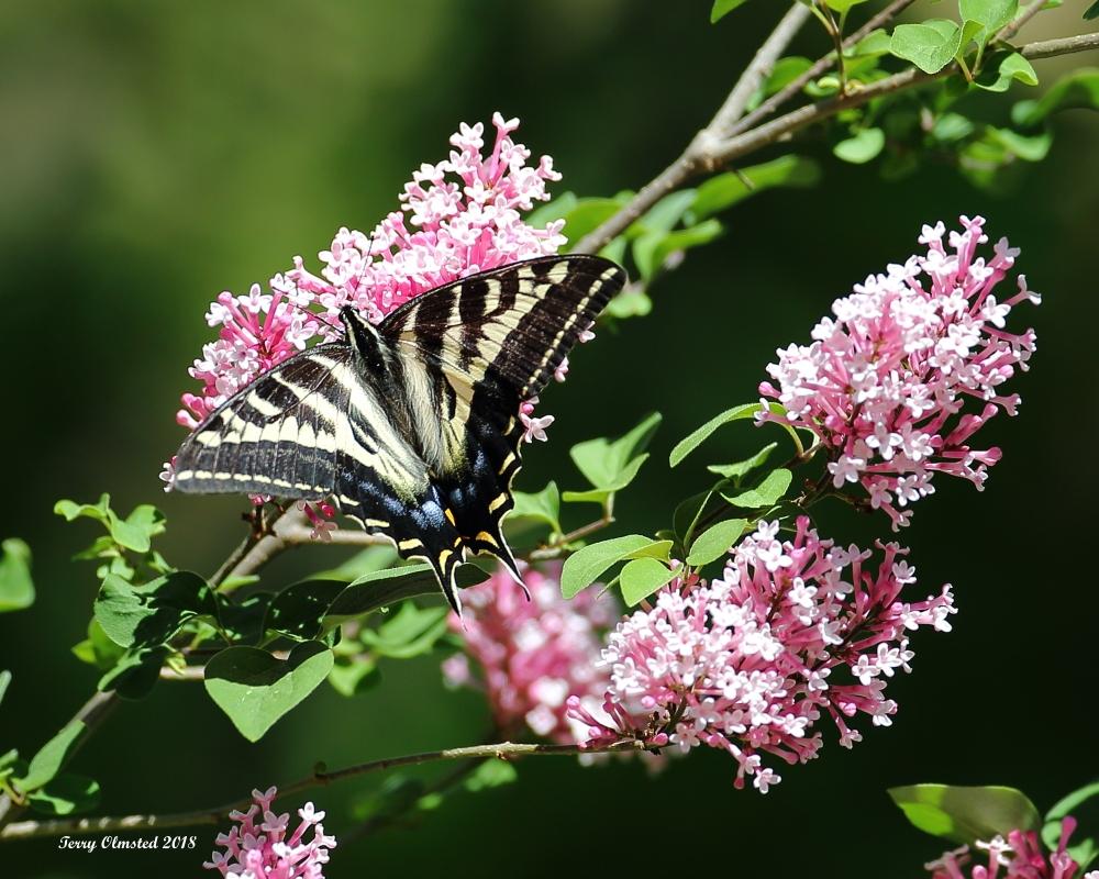 5-26-2018  swallowtail and lilac plain_6179.JPG