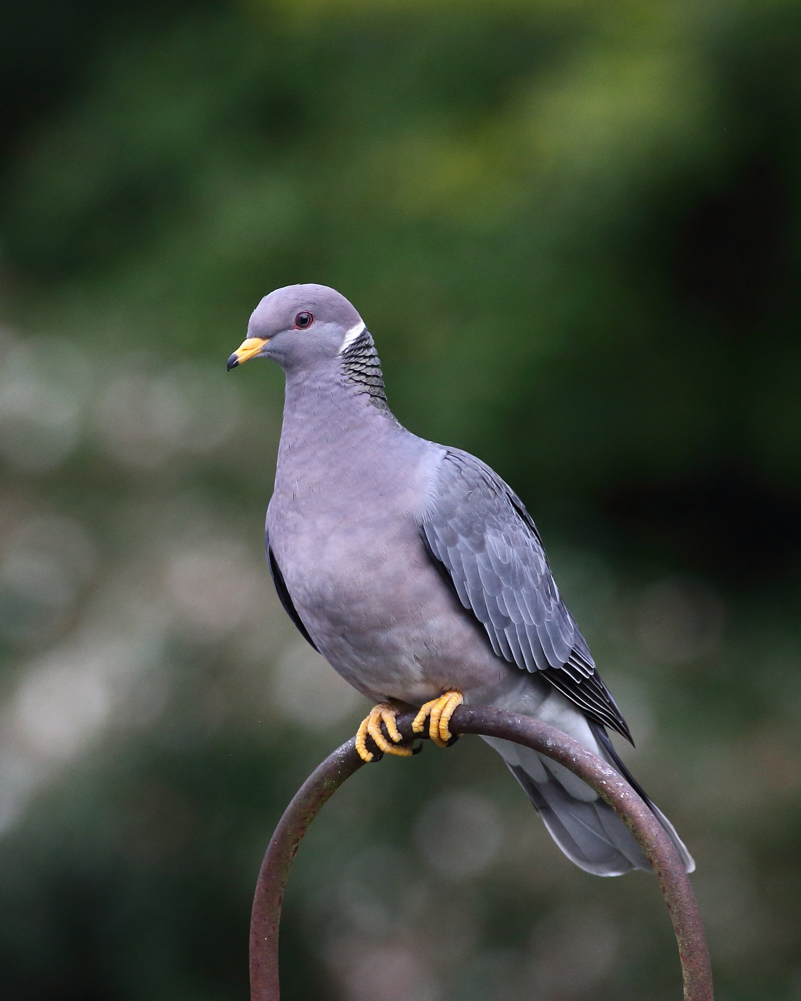6-2-2020 Band-tailed Pigeon_0905.JPG