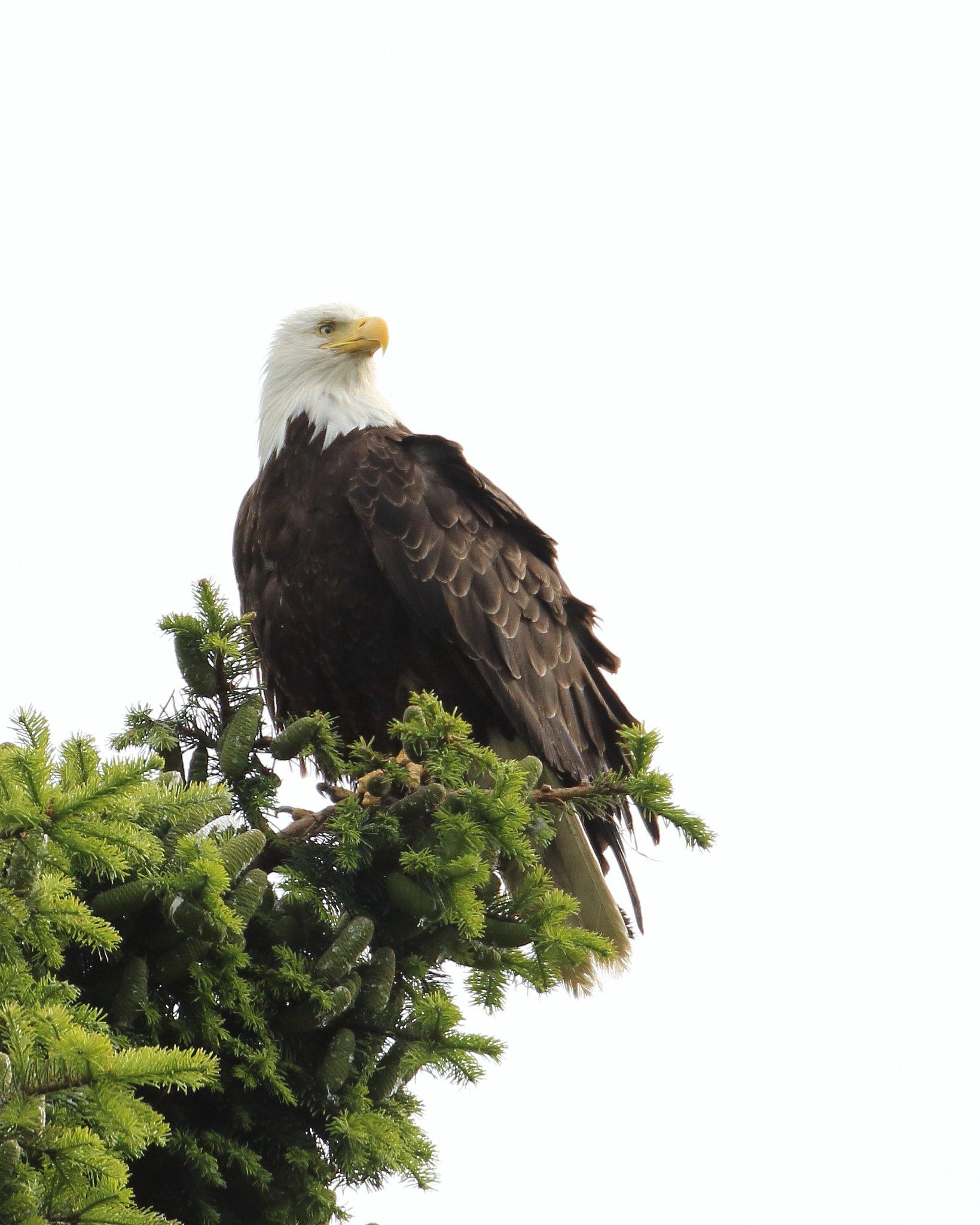 6-23-2020 m bald eagle chinook_1048.JPG
