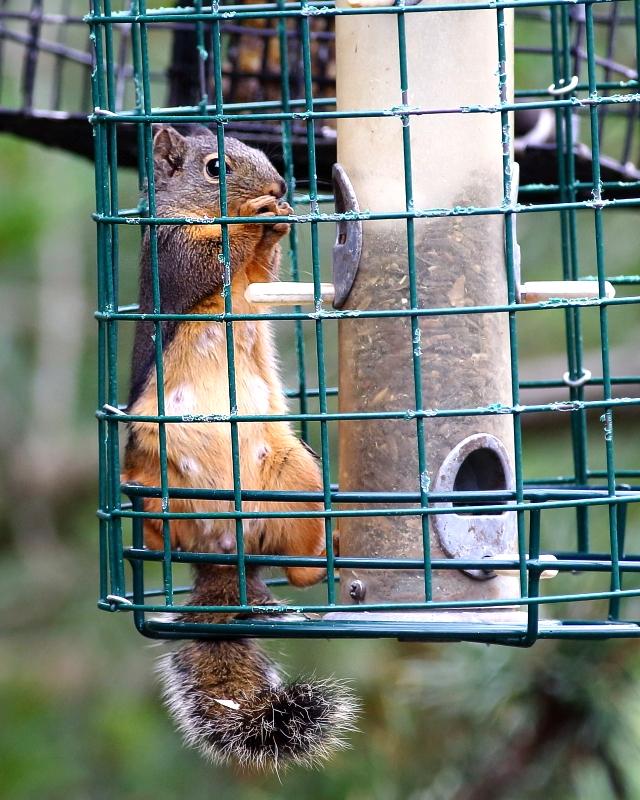 6-28-2018 douglas squirrel in squirrel proof cage 6689.JPG