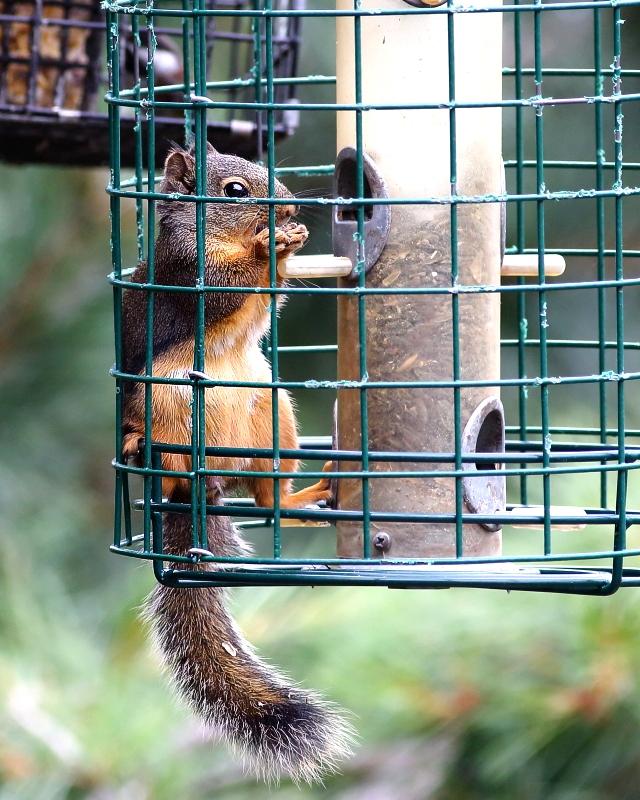 6-28-2018 douglas squirrel in squirrel proof cage 6692.JPG