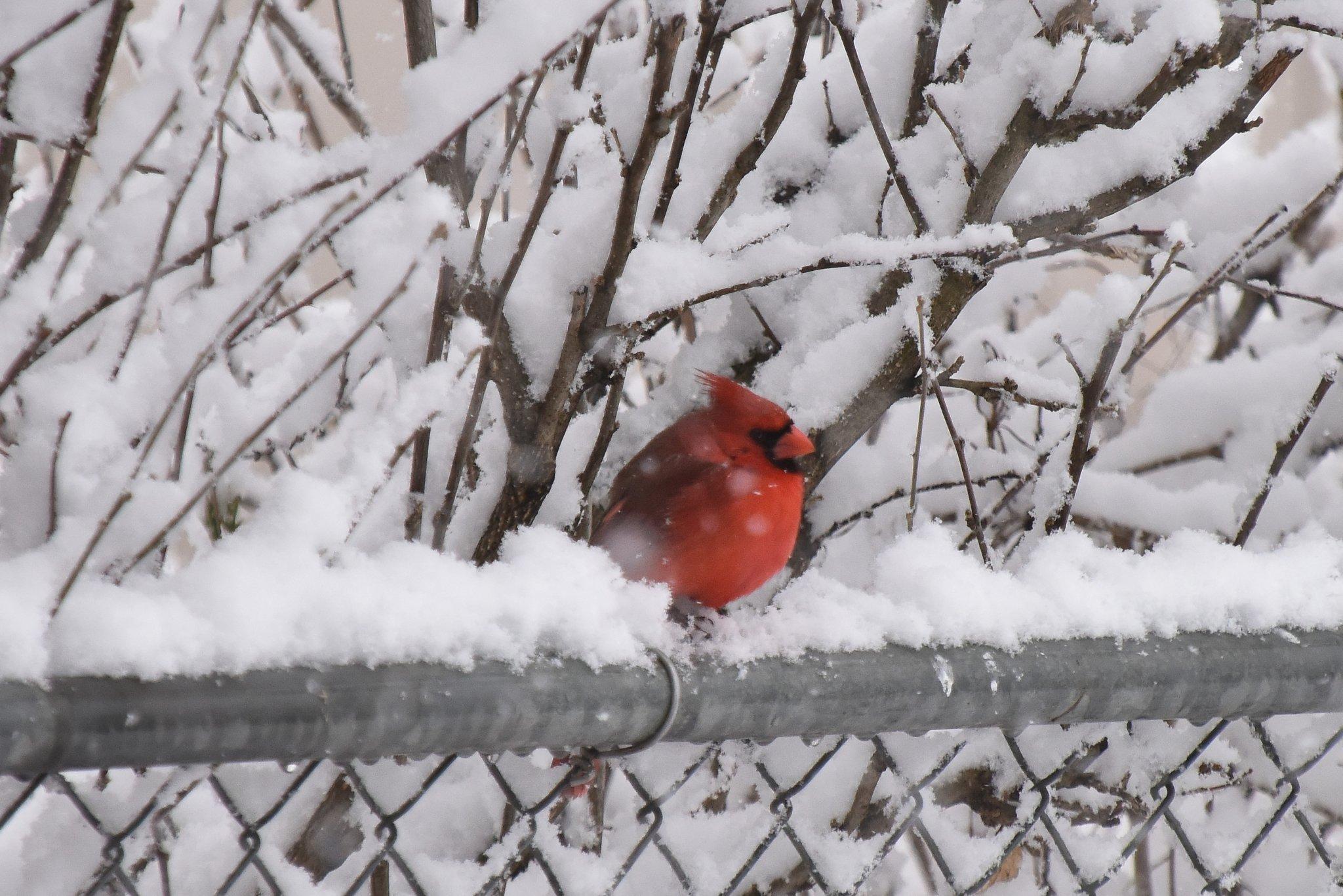 Cardinal in Snow_2_041620.JPG