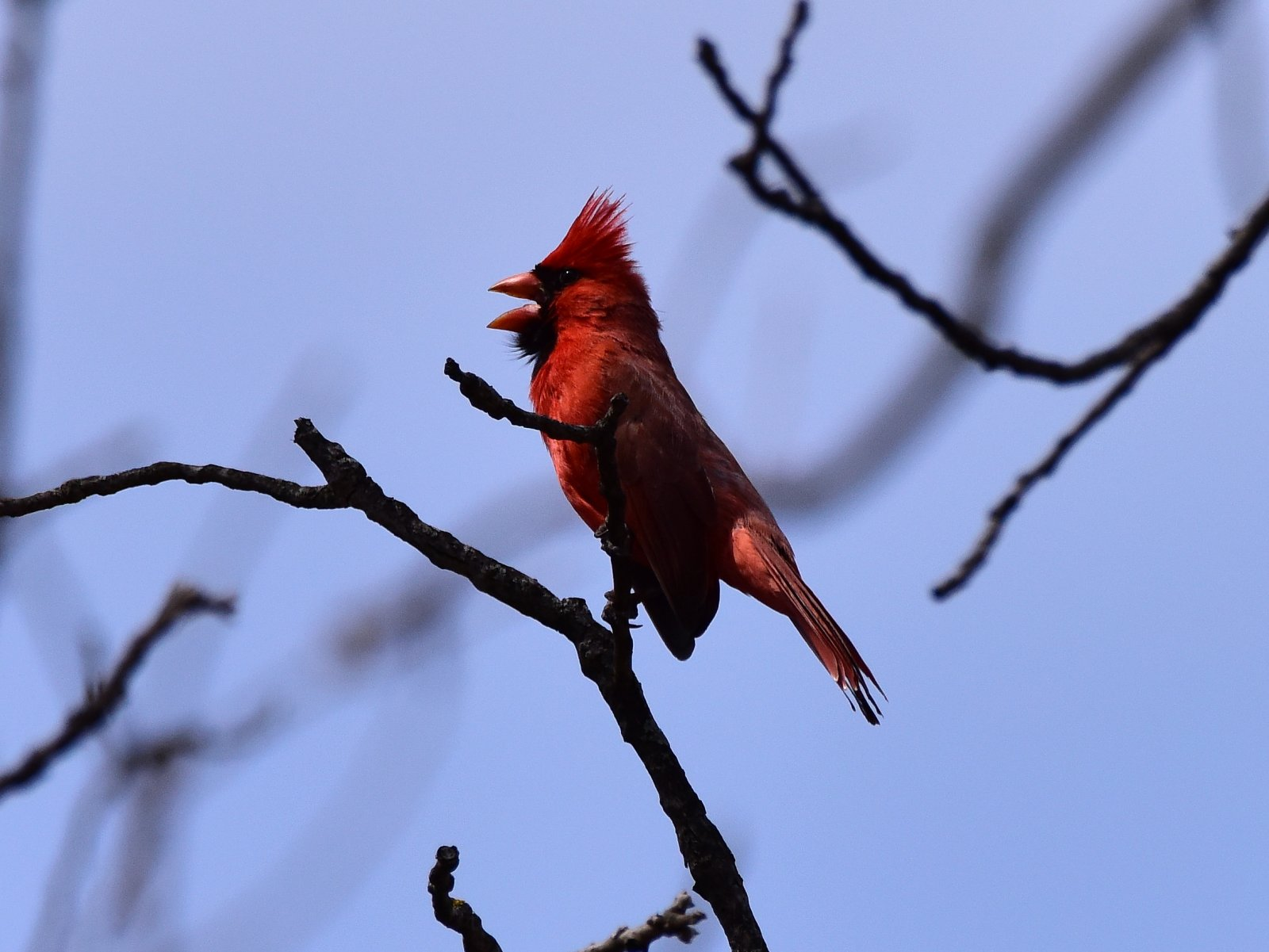 Cardinal_042518.JPG