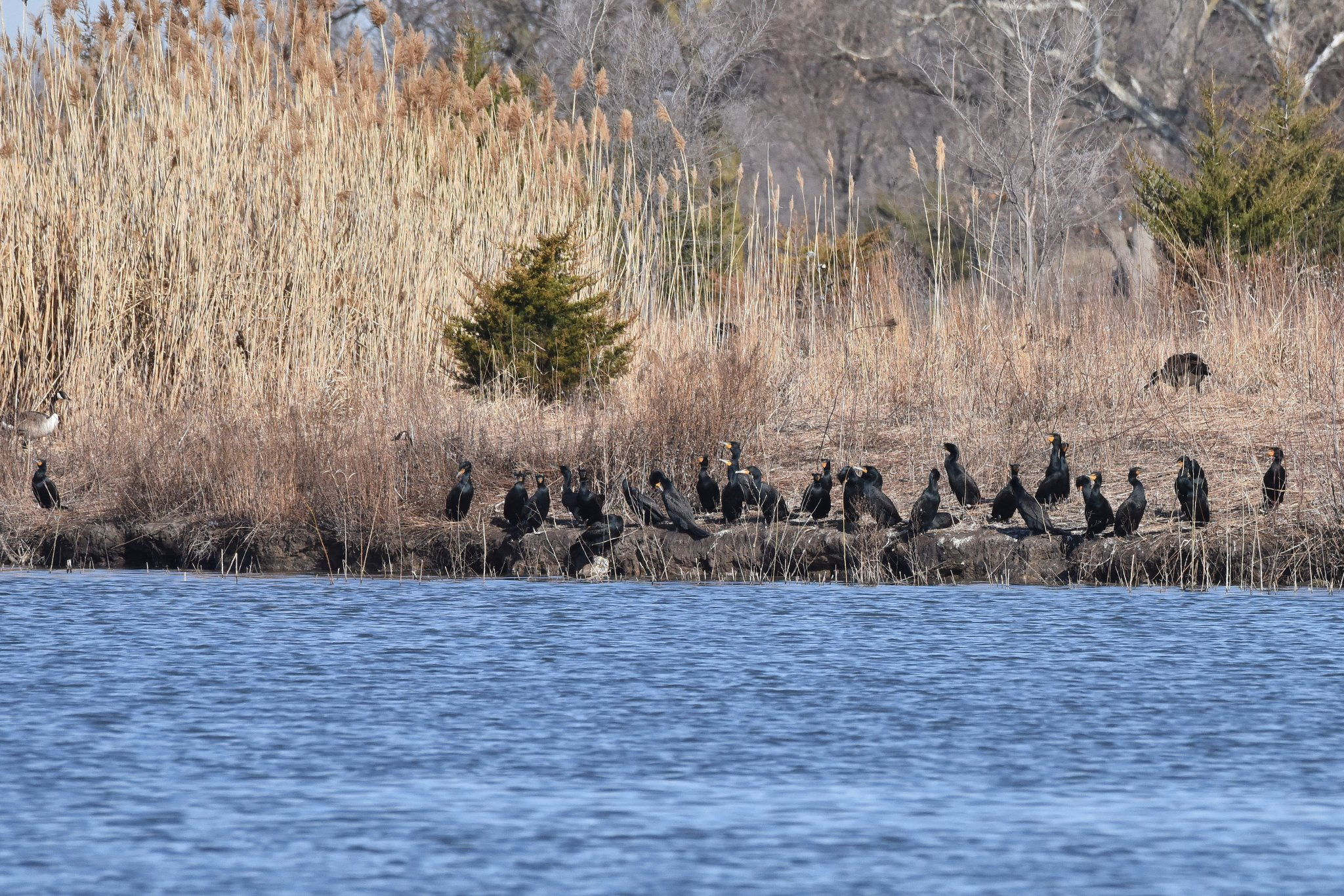 Cormorants_2_033020.JPG