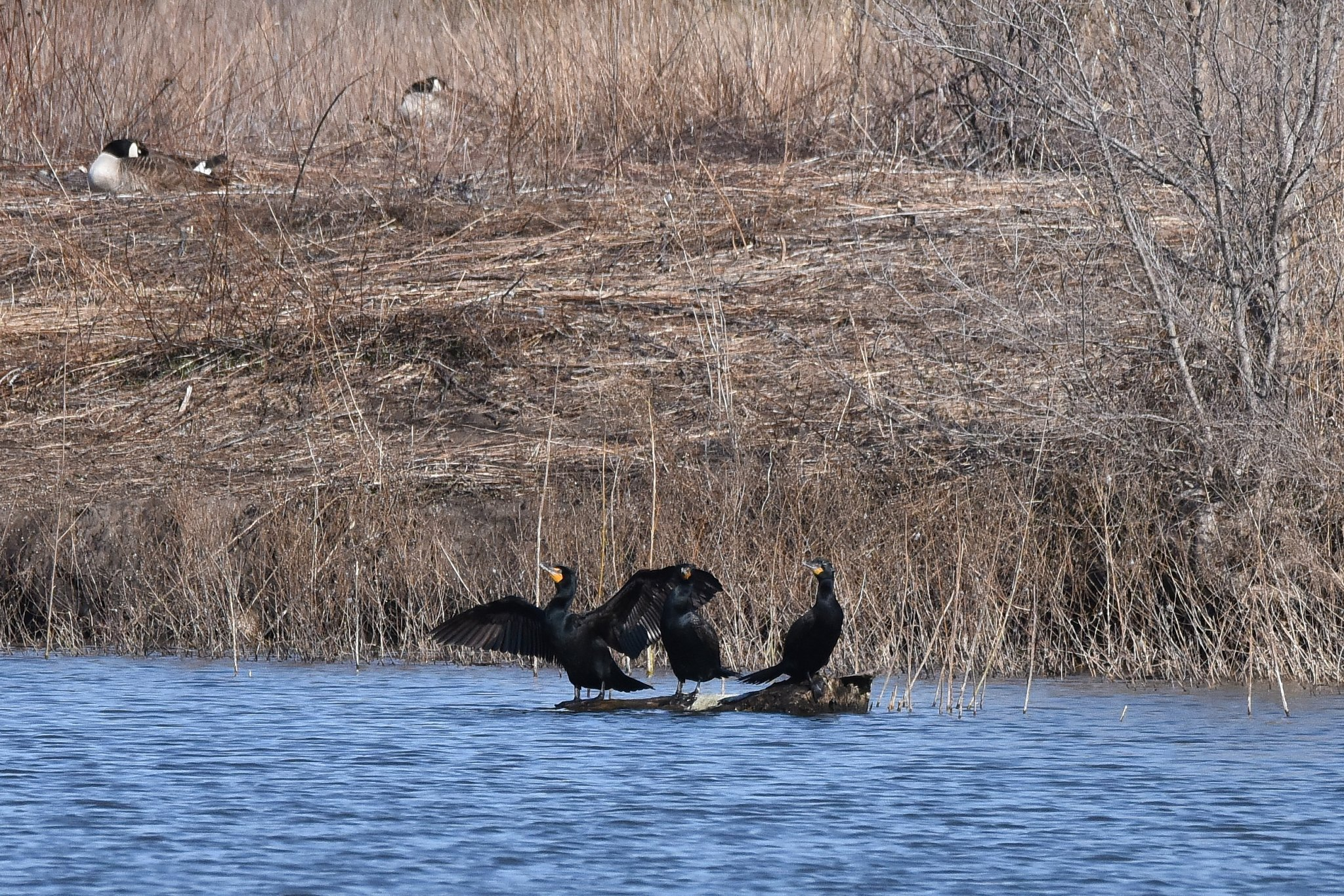 Cormorants_3_033020.JPG