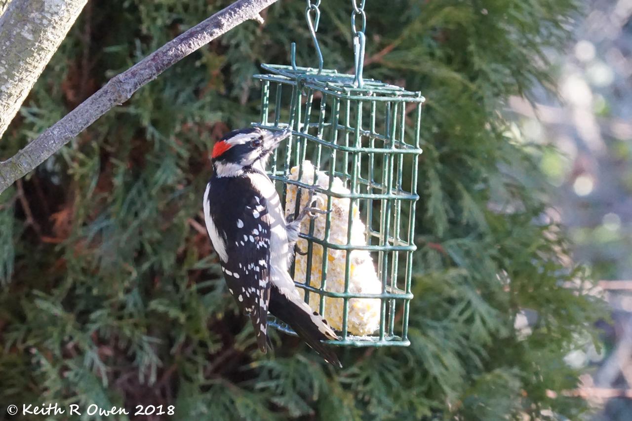 DownyWoodpeckerSalem01-01-18 2.jpg