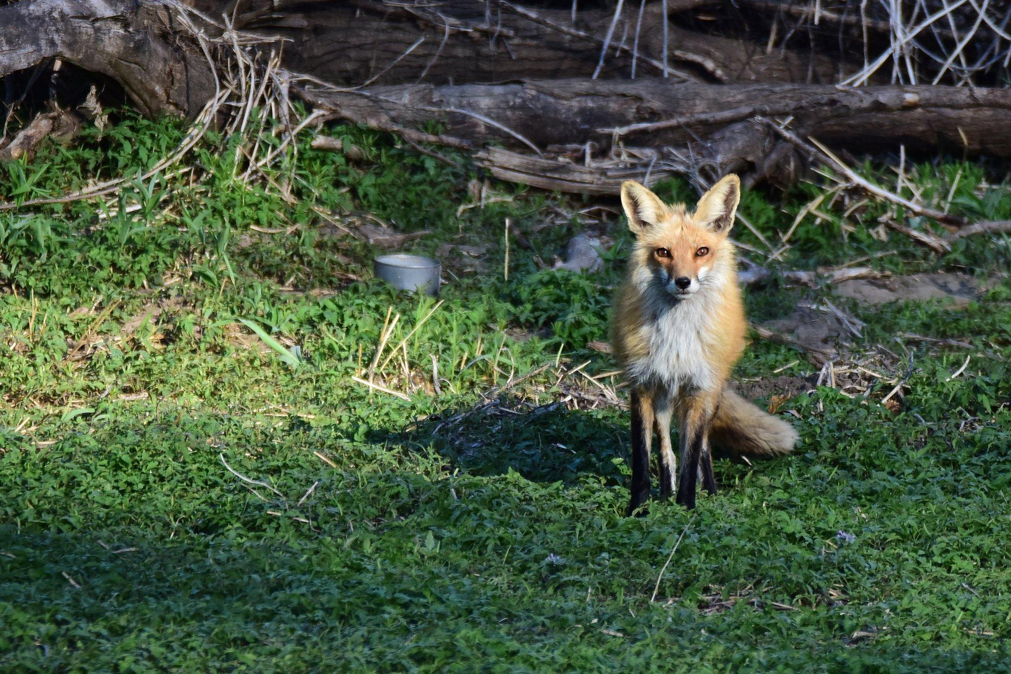 Fox_042419 (136)resize.JPG