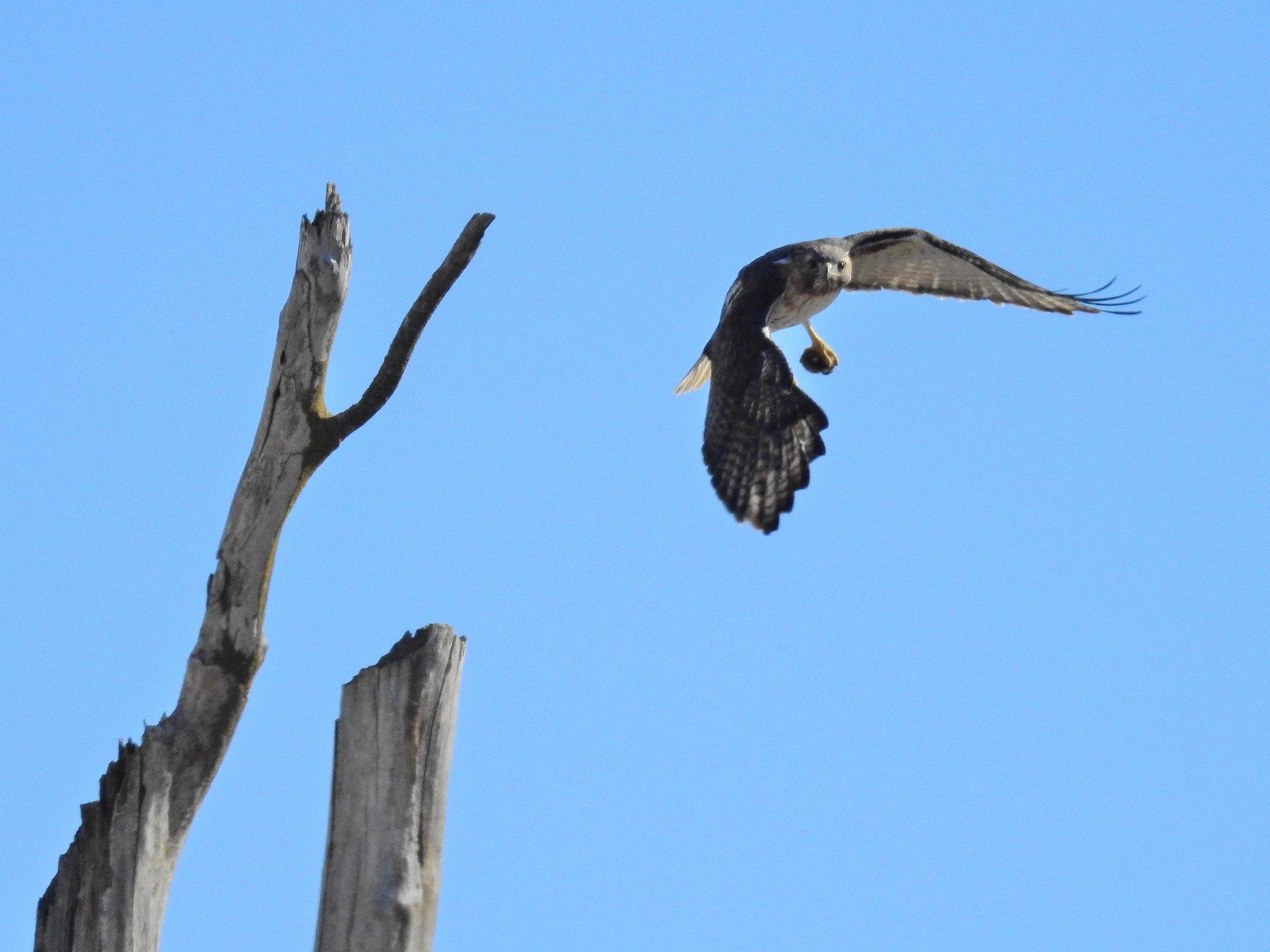 Hawk_021120.JPG