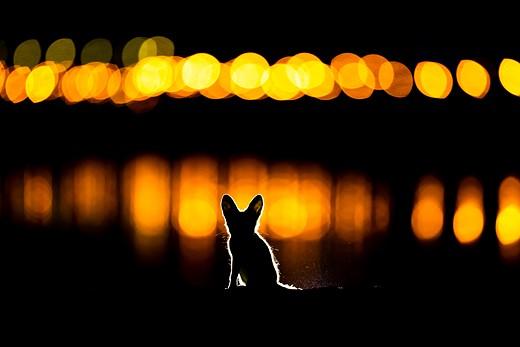 K2_2_mohammad_murad_glowing_fox.jpg