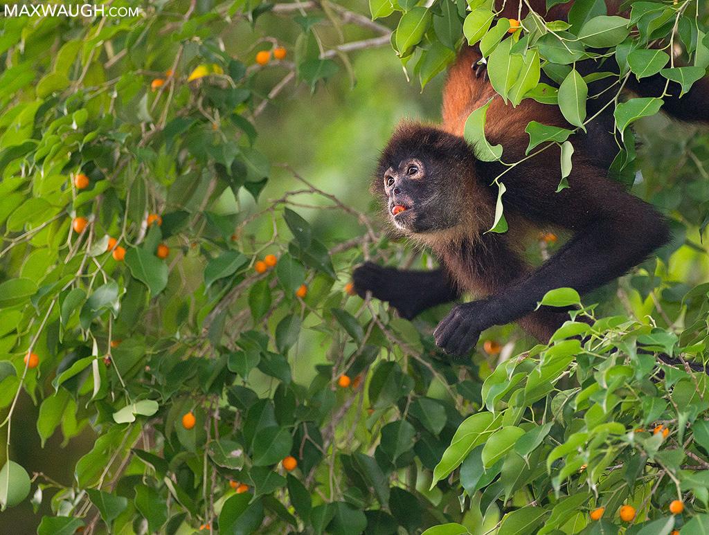 monkeygeoffroysspider0213cr5.jpg