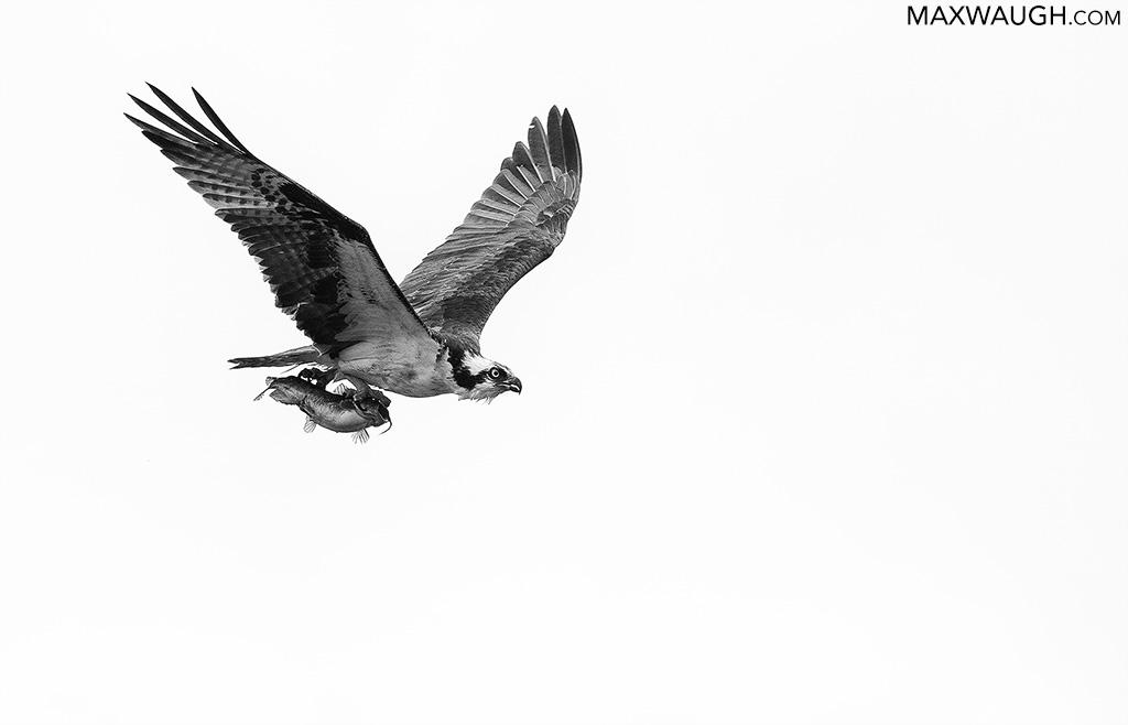 osprey612.jpg