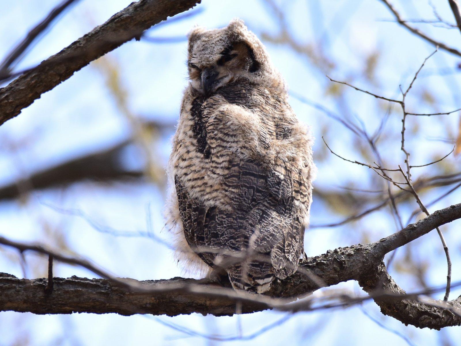 Owl 2_042618.JPG