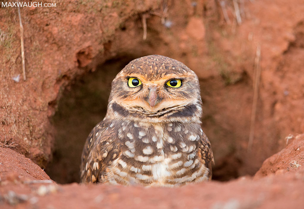 owlburrowing0817brazil36.jpg
