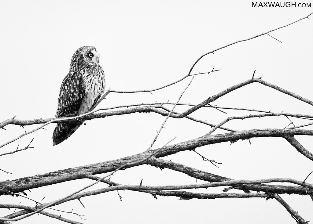 owlshorteared0119skagit3.jpg