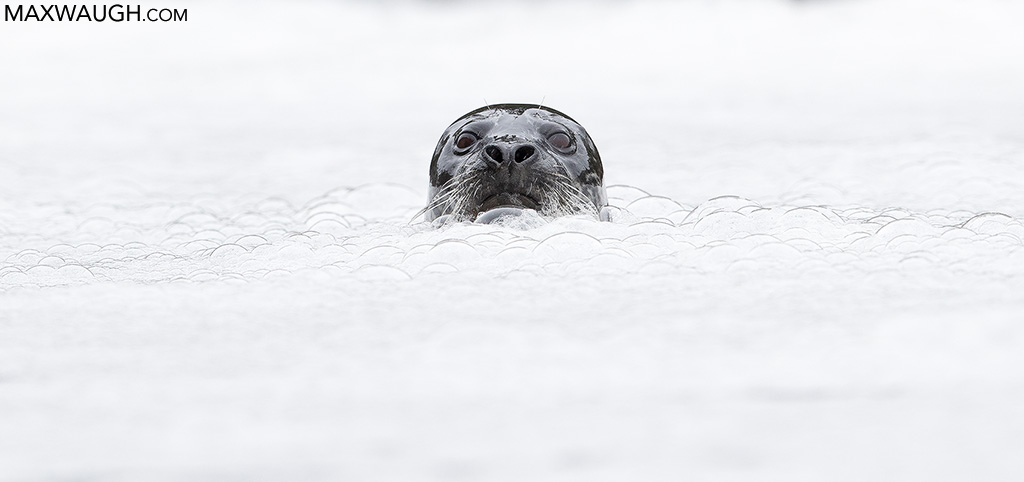 sealharbor0917greatbear3030.jpg